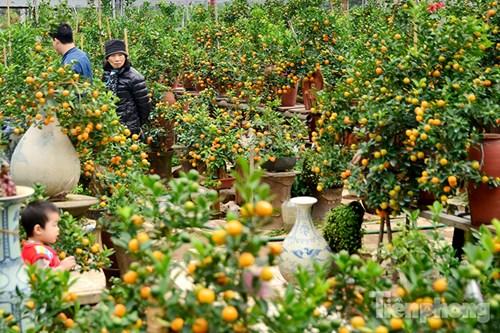 Hàng độc quất bonsai giá chục triệu cho thuê chơi Tết - 1