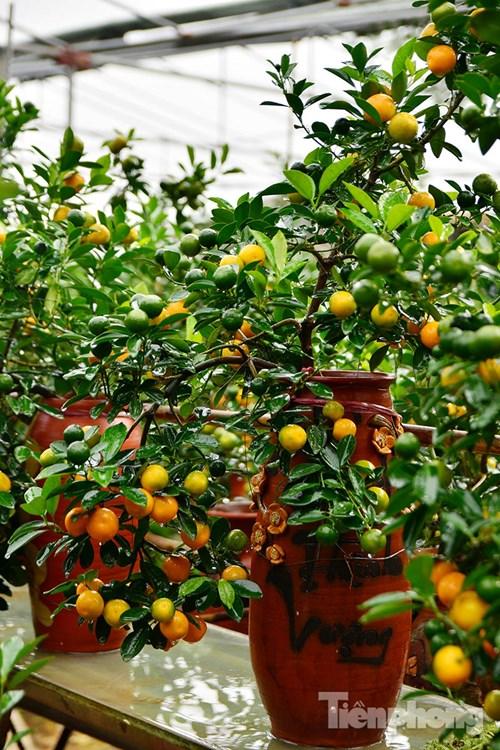Hàng độc quất bonsai giá chục triệu cho thuê chơi Tết - 2