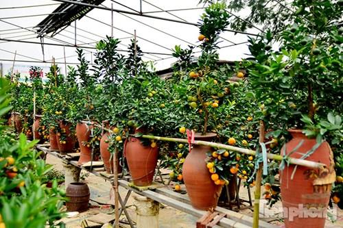 Hàng độc quất bonsai giá chục triệu cho thuê chơi Tết - 3