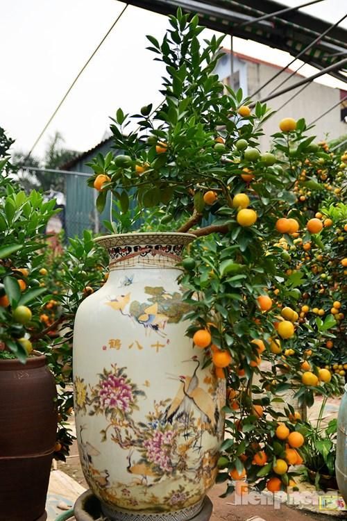Hàng độc quất bonsai giá chục triệu cho thuê chơi Tết - 4