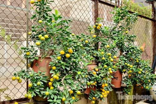 Hàng độc quất bonsai giá chục triệu cho thuê chơi Tết - 5