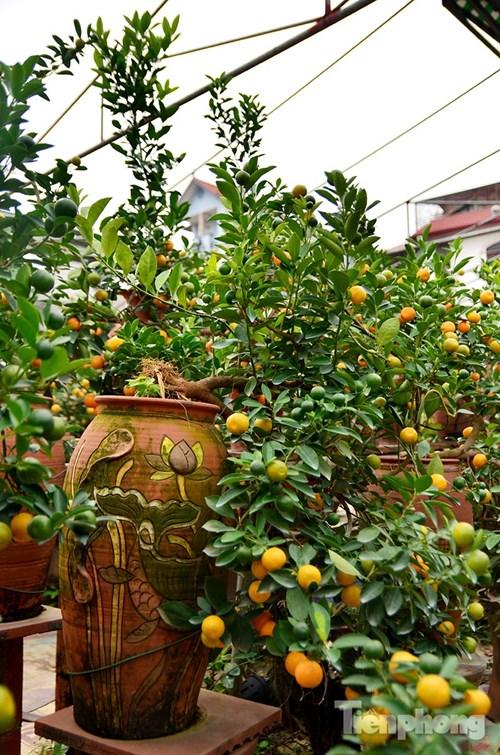 Hàng độc quất bonsai giá chục triệu cho thuê chơi Tết - 6