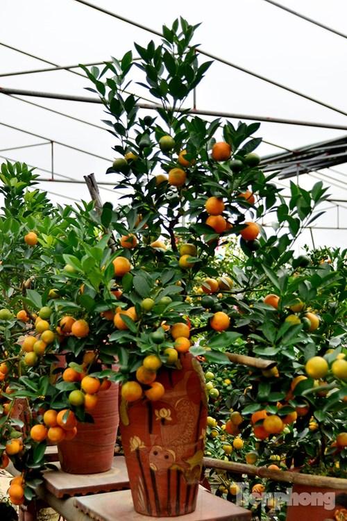 Hàng độc quất bonsai giá chục triệu cho thuê chơi Tết - 8