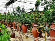 Thị trường - Tiêu dùng - Hàng độc quất bonsai giá chục triệu cho thuê chơi Tết