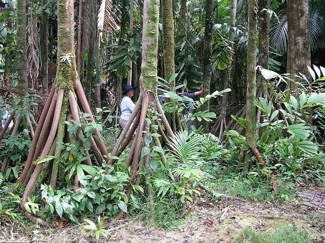 Bí ẩn những cây cọ biết đi trong rừng Ecuador - 1