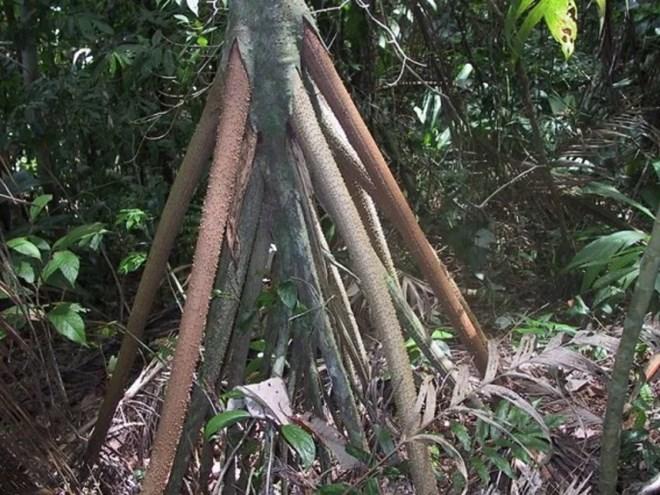 Bí ẩn những cây cọ biết đi trong rừng Ecuador - 2