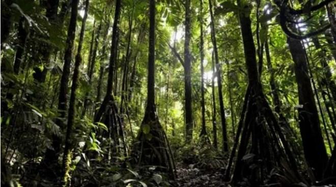 Bí ẩn những cây cọ biết đi trong rừng Ecuador - 3