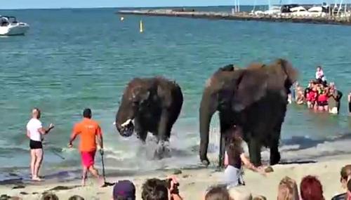 """Đàn voi """"nổi điên"""" trên bãi biển khiến du khách hú hồn - 1"""