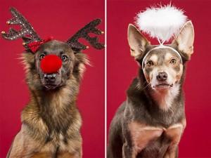 Những chú chó tự nguyện làm mẫu ảnh cho mùa Noel