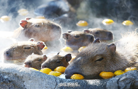 Chuột khổng lồ tắm nước nóng thơm