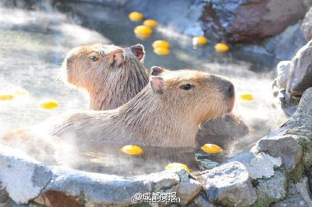 Nhật Bản: Chuột khổng lồ tắm nước nóng thơm gây sốt mạng - 2
