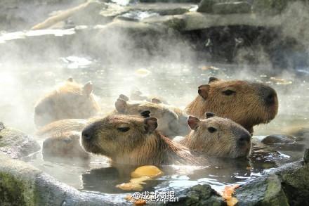 Nhật Bản: Chuột khổng lồ tắm nước nóng thơm gây sốt mạng - 3