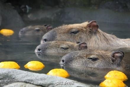 Nhật Bản: Chuột khổng lồ tắm nước nóng thơm gây sốt mạng - 4