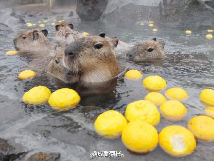 Nhật Bản: Chuột khổng lồ tắm nước nóng thơm gây sốt mạng - 5
