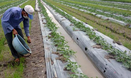 TQ thuê hàng trăm hecta trồng dưa hấu ở Lào, Campuchia - 1