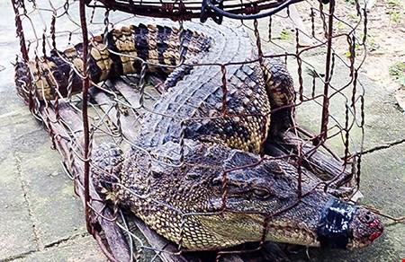 Hoảng hồn phát hiện cá sấu trong khu dân cư - 1