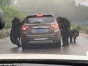 Thế giới - 4 gấu đen lực lưỡng đứng thẳng chặn xe du khách ở TQ