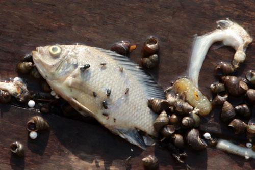 Hà Nội: Cá chết bất thường, nổi trắng ven Hồ Tây - 6