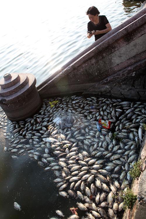 Hà Nội: Cá chết bất thường, nổi trắng ven Hồ Tây - 4