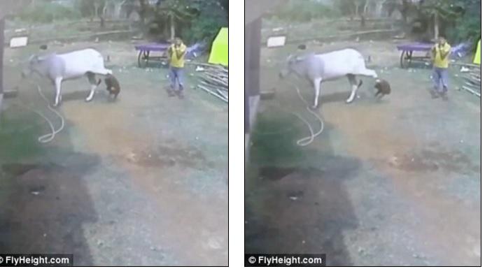 Dại dột sờ chân bò, bé trai bị đá hậu bay xa cả mét - 1