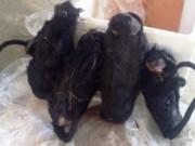 Tin tức trong ngày - Dừng xe khách, phát hiện 4 con voọc đen má trắng quý hiếm