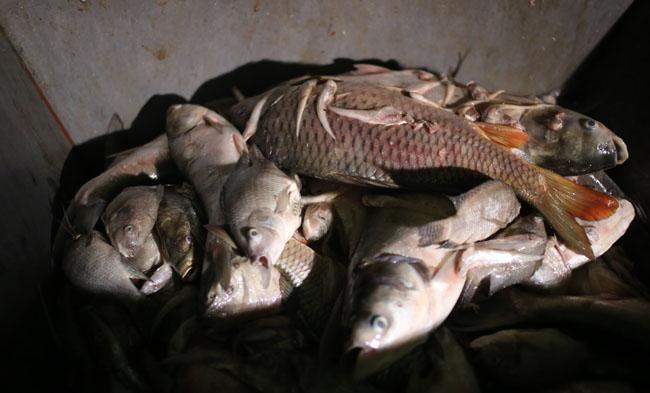 Chùm ảnh: Trắng đêm vớt cá chết ở Hồ Tây - 9