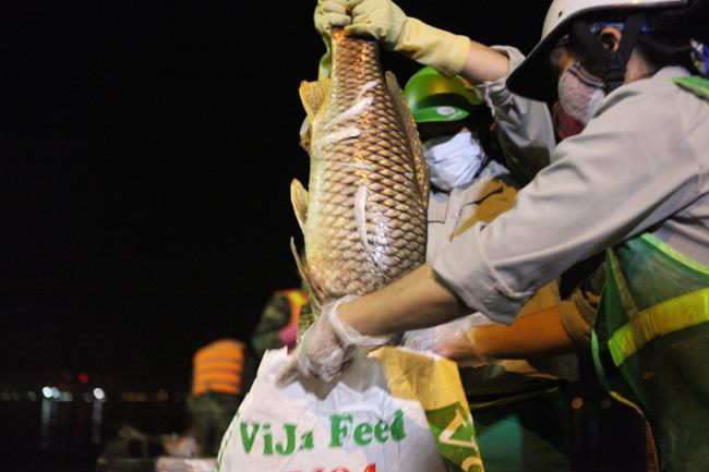 Chùm ảnh: Trắng đêm vớt cá chết ở Hồ Tây - 11