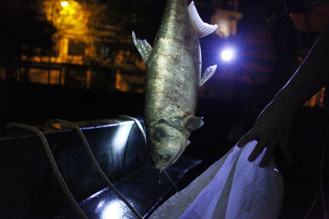 Chùm ảnh: Trắng đêm vớt cá chết ở Hồ Tây - 16