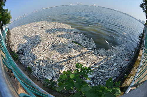 Cá chết ở Hồ Tây: Dân bịt mũi, quán đóng cửa vì mùi hôi thối - 1
