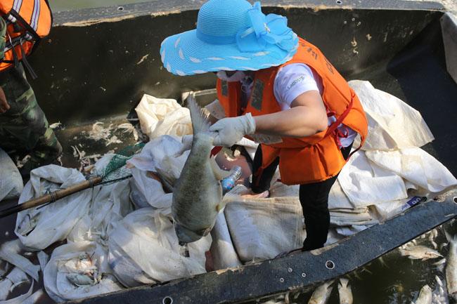 Cá chết ở Hồ Tây: Dân bịt mũi, quán đóng cửa vì mùi hôi thối - 15