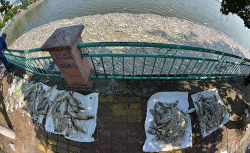 Lắp máy sục khí tạo ôxy, cá Hồ Tây vẫn chết hàng loạt - 9