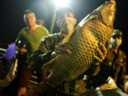 Tin tức trong ngày - Chùm ảnh: Trắng đêm vớt cá chết ở Hồ Tây