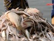 Video An ninh - Hà Nội làm gì sau sự cố cá chết trắng Hồ Tây?