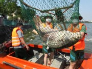 Tin tức trong ngày - Hà Nội vớt hơn 60 tấn cá chết ở Hồ Tây trong 3 ngày