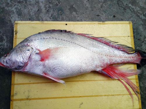 Ngư dân bắt được con cá toàn thân vàng óng quý hiếm - 6