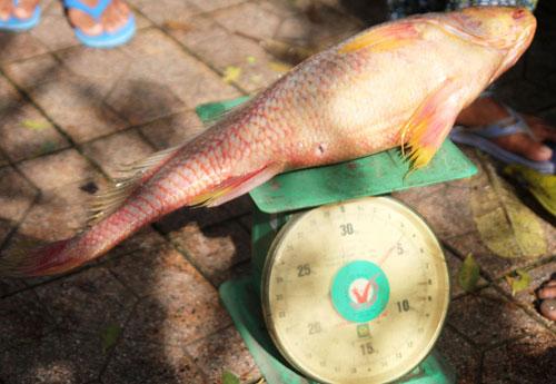 Ngư dân bắt được con cá toàn thân vàng óng quý hiếm - 4