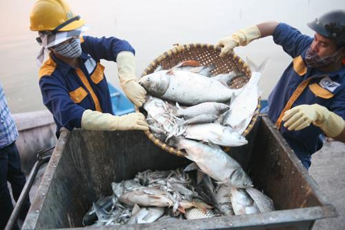 Khoảng 200 tấn cá hồ Tây đã được đem chôn - 1