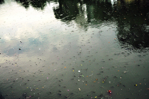 """Cá nổi """"đặc nước"""" trên kênh Nhiêu Lộc - Thị Nghè - 2"""