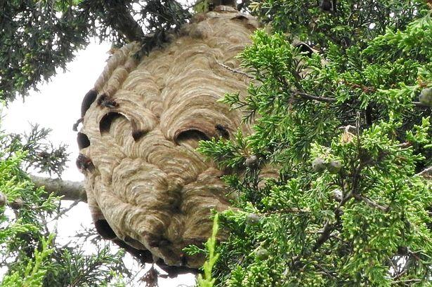 Phát hiện tổ ong bắp cày châu Á khổng lồ ở Anh - 1
