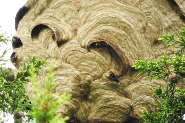 Phát hiện tổ ong bắp cày châu Á khổng lồ ở Anh - 2