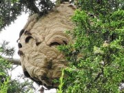 Phi thường - kỳ quặc - Phát hiện tổ ong bắp cày châu Á khổng lồ ở Anh