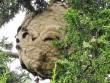 Phát hiện tổ ong bắp cày châu Á khổng lồ ở Anh