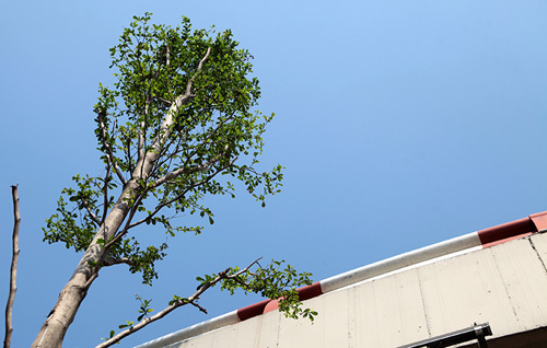 HN: Kỳ lạ hàng trăm cây xanh trồng dưới đường điện cao thế - 2
