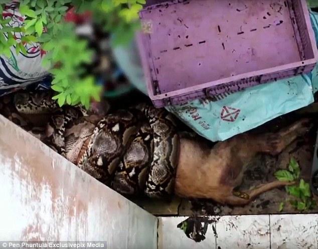 Nửa đêm hoảng hốt thấy trăn khổng lồ ăn sống chó cưng - 1