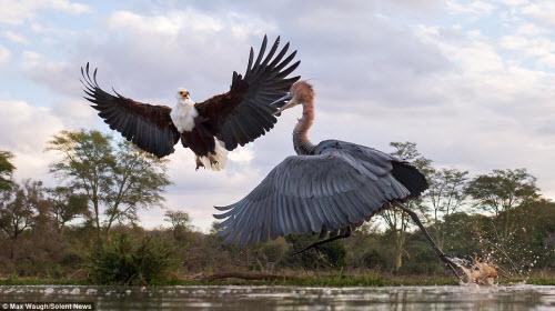 Chim diệc tung đòn kungfu đánh đuổi đại bàng - 2