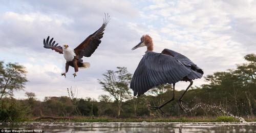 Chim diệc tung đòn kungfu đánh đuổi đại bàng - 3