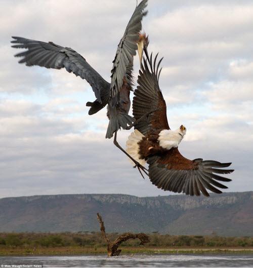 Chim diệc tung đòn kungfu đánh đuổi đại bàng - 4