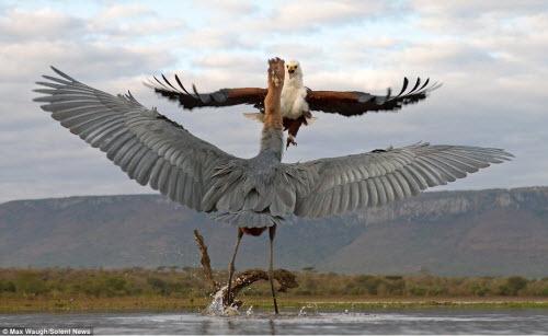 Chim diệc tung đòn kungfu đánh đuổi đại bàng - 5