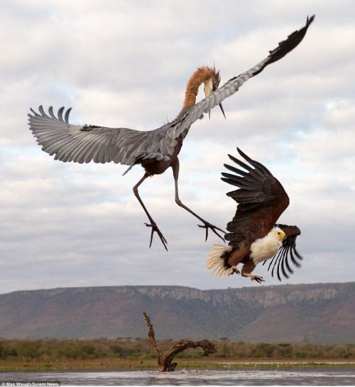Chim diệc tung đòn kungfu đánh đuổi đại bàng - 6