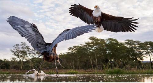 Chim diệc tung đòn kungfu đánh đuổi đại bàng - 7